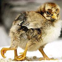Fölös segglyuka ölte meg a négylábú csirkét