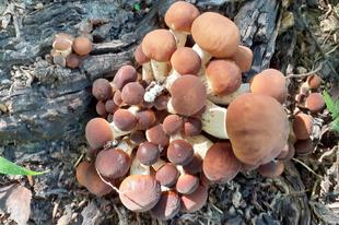 Telepi gombák