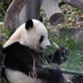 Bécsi állatkert, pandával