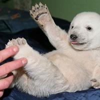 Knut, a jegesmedve