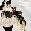 Kutyaszánozás Kirunában