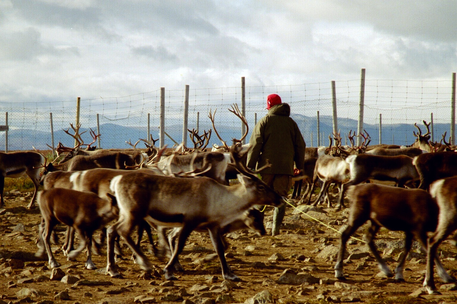 reindeer_herding.jpg