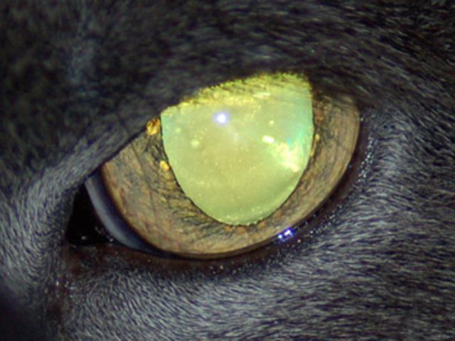 Miért világít az állatok szeme a sötétben?