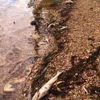Már megint pusztulnak a halak a Kis-Dunában