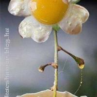 Tojásvirág