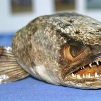 Brutális ázsiai halat fogtak Angliában