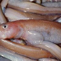 Gyosztonyinak hívják a legfrissebben felfedezett halat