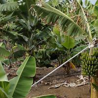 Az olasz banántermesztőknek jól jön a klímaváltozás