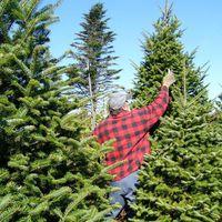 Válság sújtja a karácsonyfaipart, meghökkentő faárakat hoz az ünnep