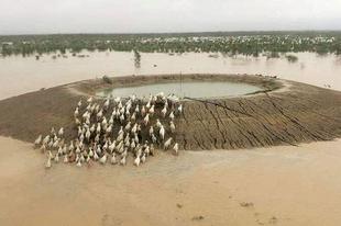 Özönvíz tette tönkre az ausztrál szarvasmarha-ágazatot