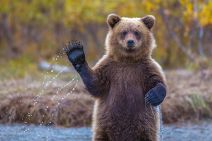Medvéket eresztettek a juhok közé, tart a galiba