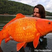 Ha kifognám az aranyhalat