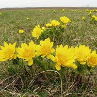 Virágzik a szedresi Tarkasáfrányos!