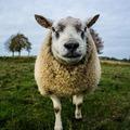 Ha sokat mutogatnák nekik, a juhok néhány jutalomfalatért még Lázár fejét is felismernék!!