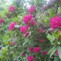 Még gyorsan elugorhat rododendron-virágzást nézni a Jeli arborétumba!