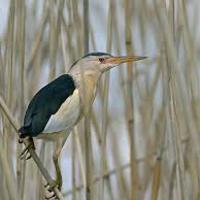 A láthatatlan madár: Törpegém