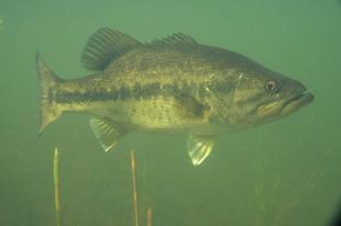 Egy jövevényhal sikere: A Bajai-csatorna pisztrángsügerei