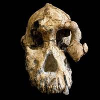 3,8 millió éves koponyát találtak