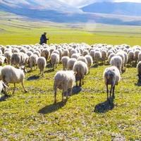 Bárányok és pásztorok
