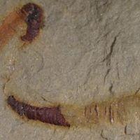 550 millió éves fosszíliát találtak a nevadai sivatagban