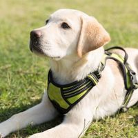 Önkénteseket keresnek vakvezető kutyák kiképzésére
