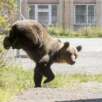 Új irány a medvékkel való küzdelemben