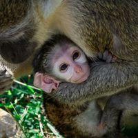 Kismajmok születtek a pécsi állatkertben