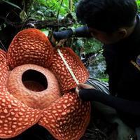 A világ legnagyobb virága