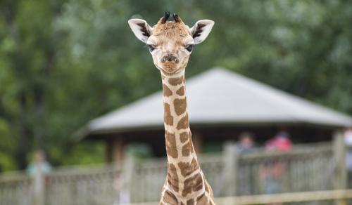 Zsiráfbébivel gazdagodott a nyíregyházi állatkert