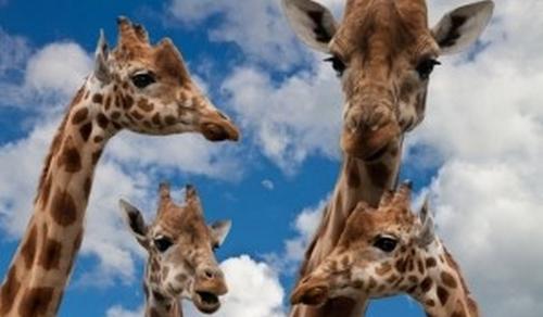 Veszélyeztetett faj lehet a zsiráf