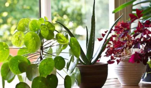 A szobanövények nem javítják hatékonyan a beltéri levegőminőséget
