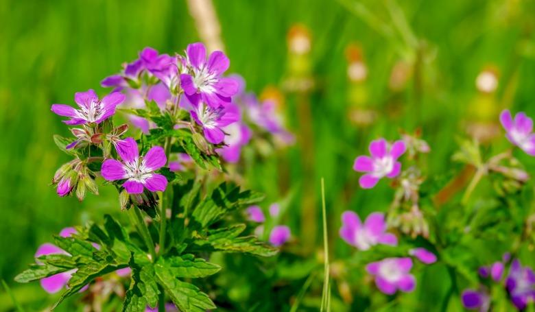 Vadvirágok millióival mentik meg az Egyesült Királyság méhpopulációját