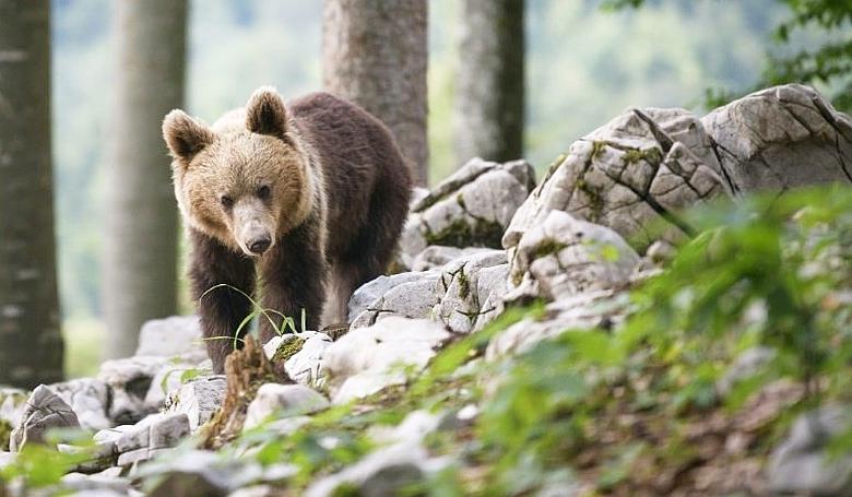 Medve támadt egy idős nőre Szlovéniában