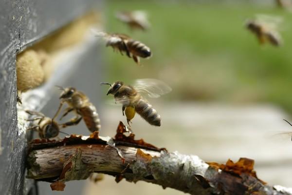 A méhek védelmében sürget lépéseket az EP