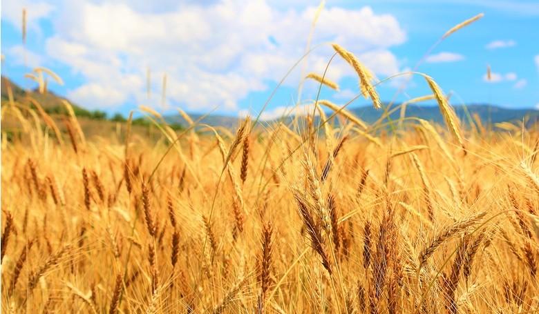 Megkezdődött az aratás: jó termés várható