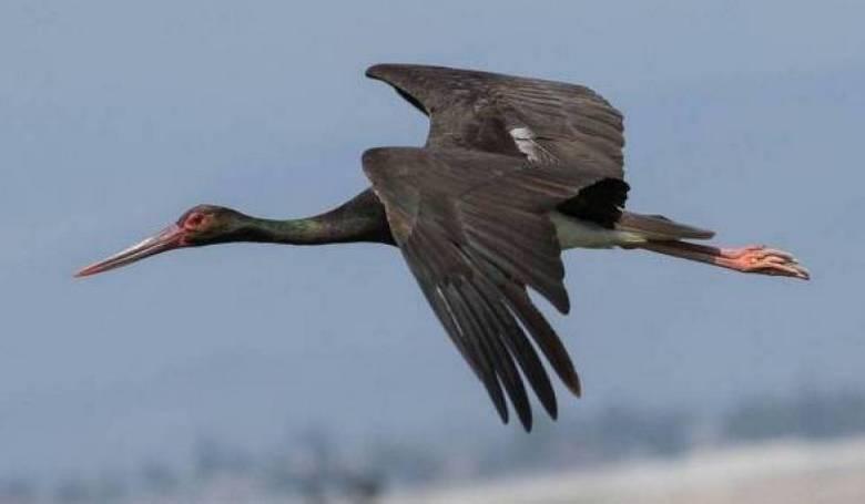 Megérkeztek a fekete gólyák