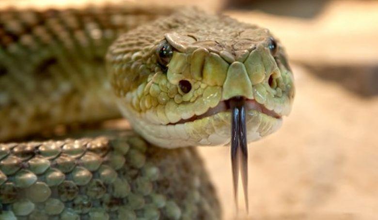 WHO: négypercenként meghal egy ember kígyómarás miatt
