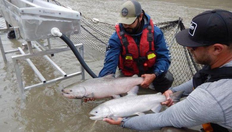 Légi úton szállítják a lazacokat ívóhelyükre az elzárt kanadai folyón