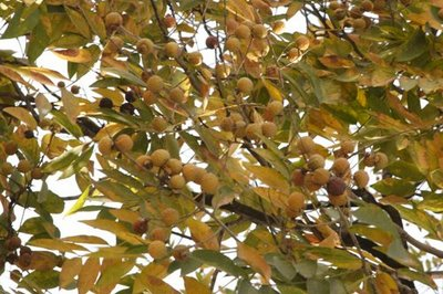 soap nut tree2.jpg
