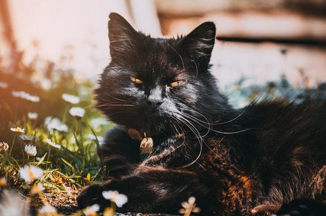 adorable-animal-black-cat-905021.jpg