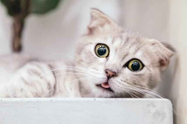 adorable-animal-cat-2286016.jpg