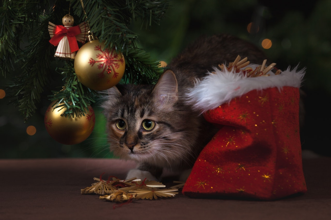 adorable-animal-cat-celebration-236587_1.jpg