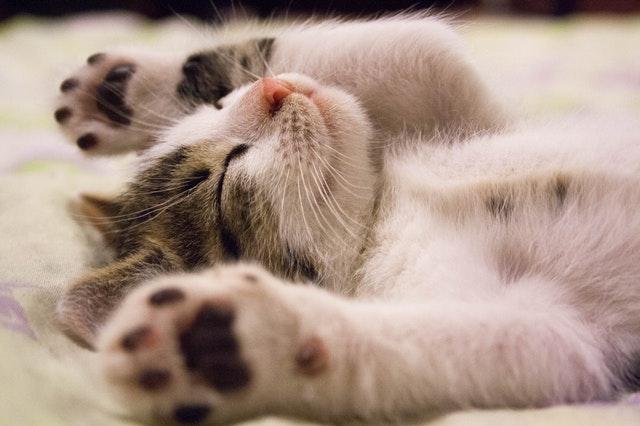 animal-cat-face-close-up-feline-416160.jpg