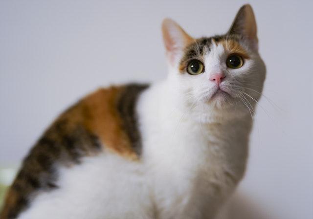 calico-cat-1571076.jpg