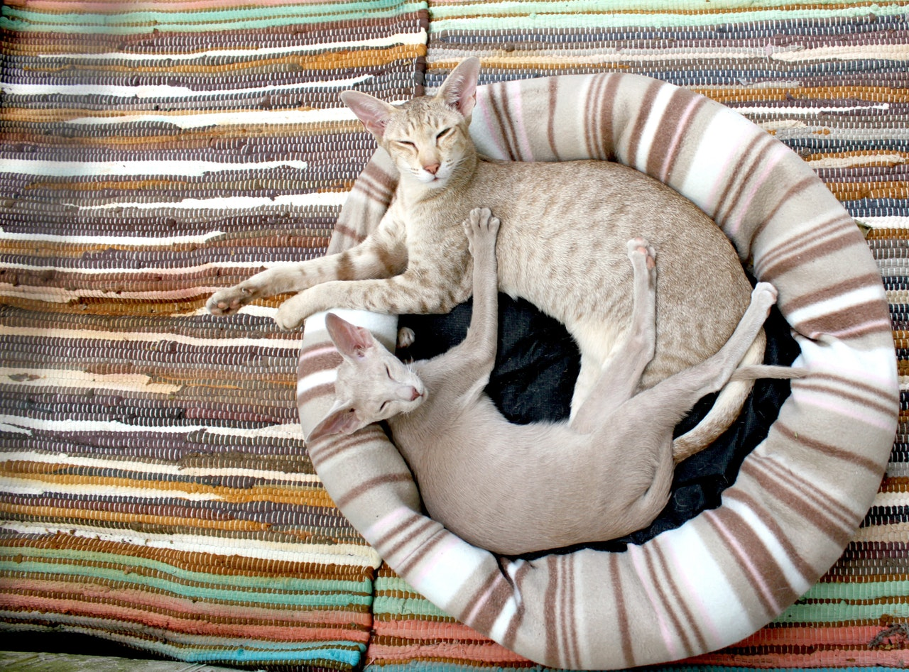 cat-kitten-siamese-cat-cozy-64284.jpeg