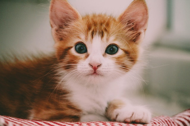 close-up-photo-of-brown-and-white-kitten-1870376.jpg