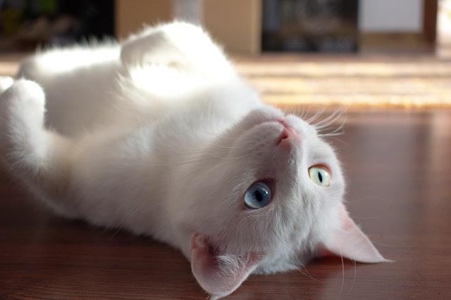 close-up-photo-of-kitty-laying-on-floor-1476254.jpg