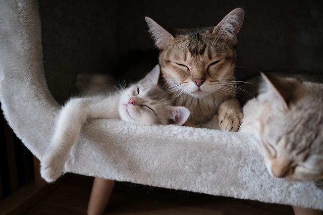 close-up-photo-of-tabby-cats-sleeping-2693561_1.jpg