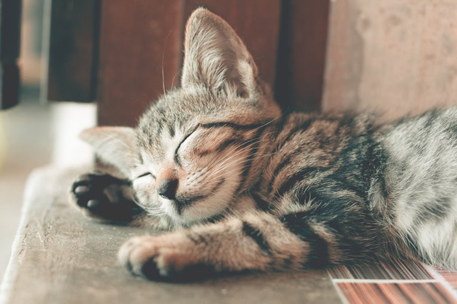 close-up-photography-of-sleeping-tabby-cat-1056251.jpg