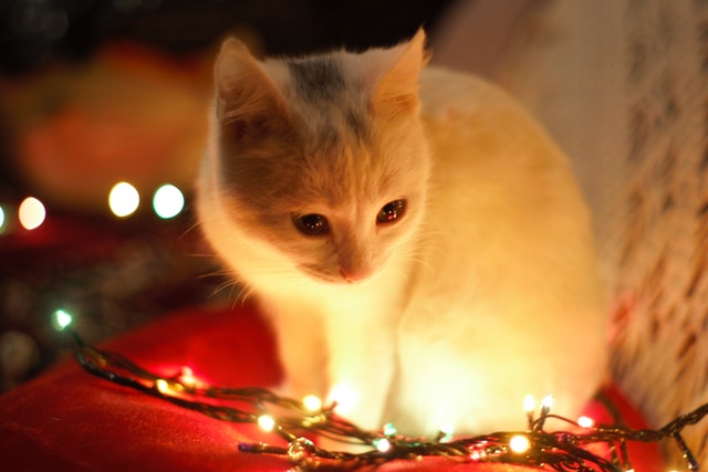 close-up-photography-of-white-cat-besides-christmas-lights-735423.jpg